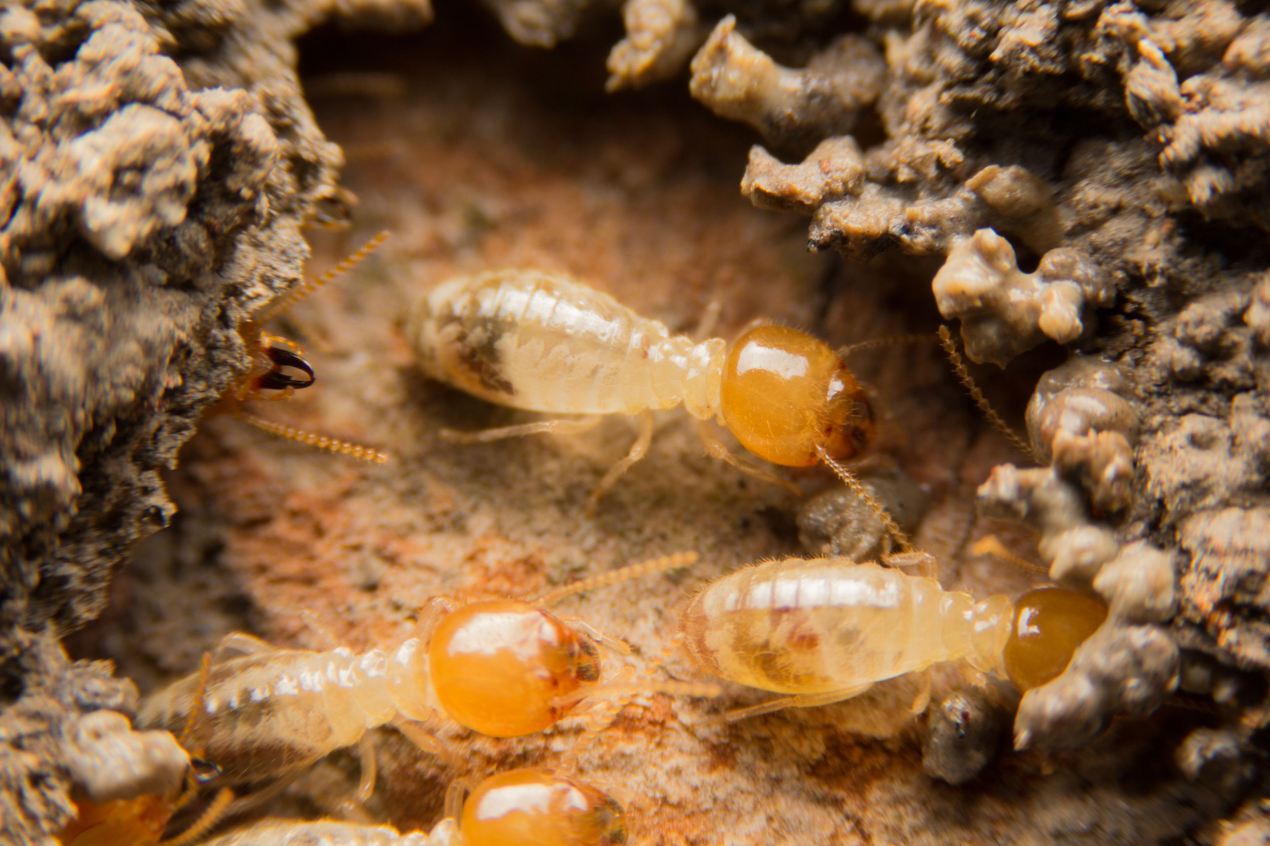 5 Home Remedies To Get Rid Of Fire Ants - Premier Pest