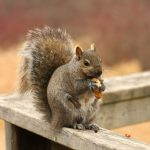 Here's How to Get Squirrels Out of Your Attic